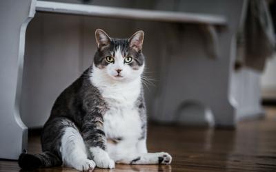 image for Avoiding Obesity in Your Cat