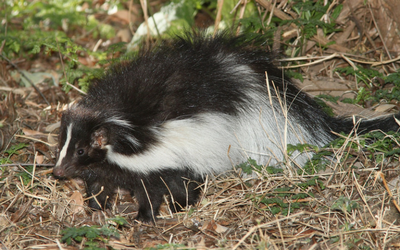 image for Stop the Spray- Keeping Skunks at Bay